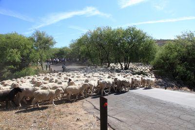 2011-05-21 - Sheep Crossing 027 web